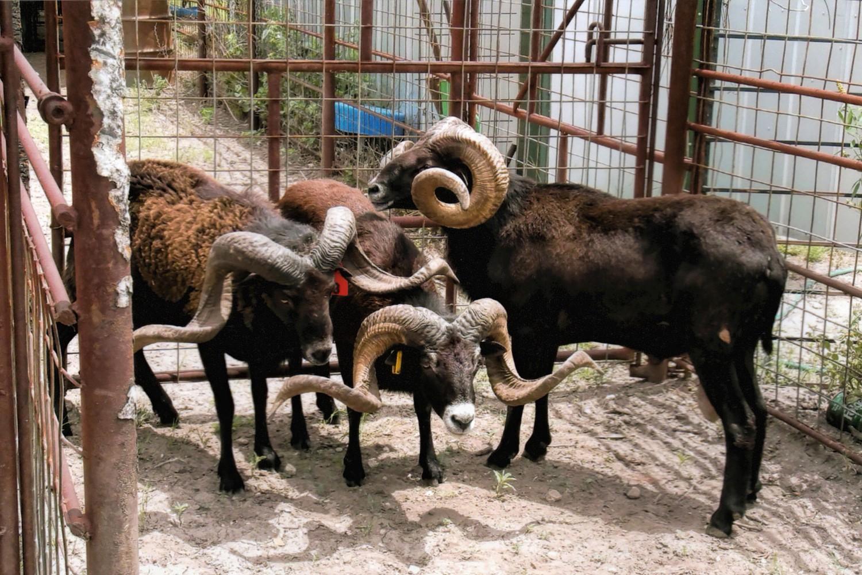 Exotic Trophy Sheep Bar H Herndon Ranch