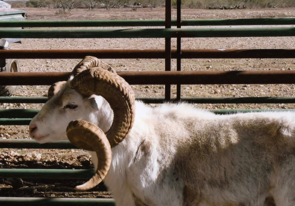 Exotic Trophy Sheep